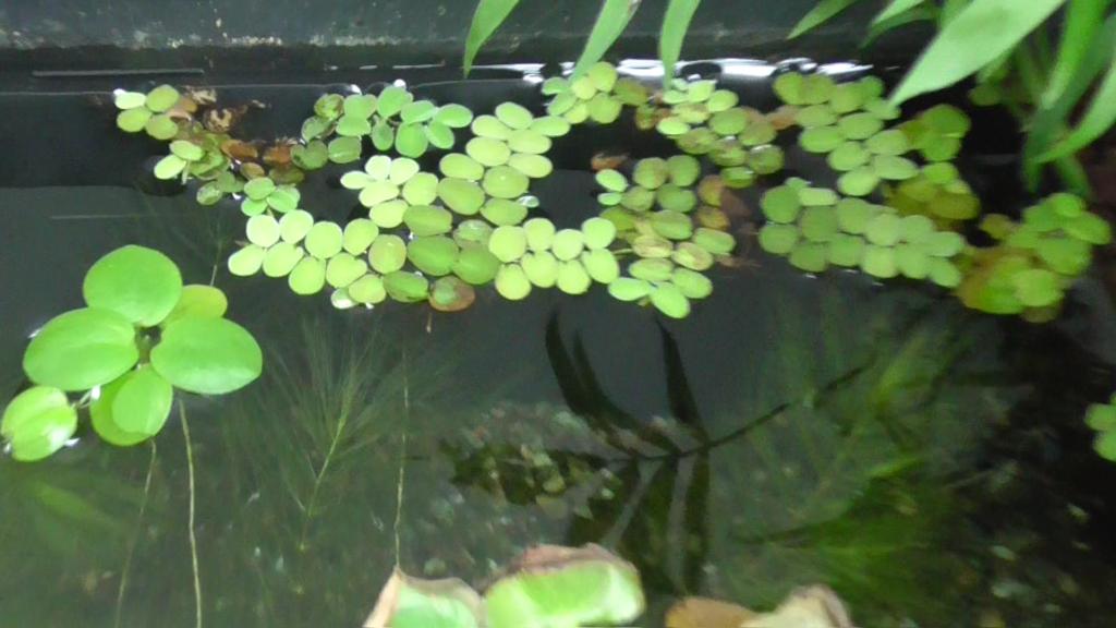 ビオトープの浮草
