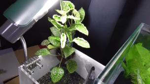 アクアリウムで水耕栽培1